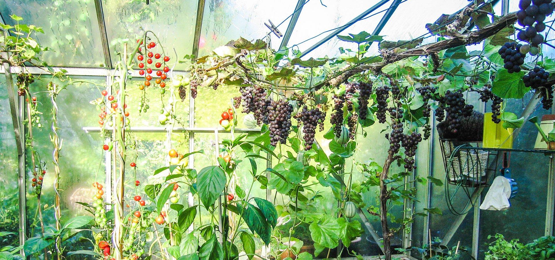 Slik dyrker du dine egne druer til hjemmelaget vin